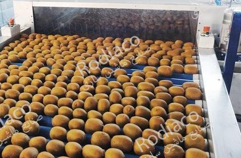 تولید کننده دستگاه سورتینگ میوه کیوی