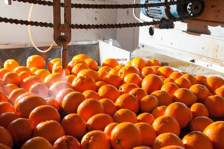 شستشو در خط سورتینگ پرتقال